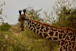 Langue_bleue_girafe