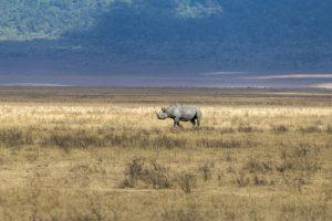 Rhinocéros dans le cratère du Ngorongoro
