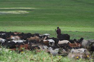 Masaï et son troupeau dans le cratère du Ngorongoro