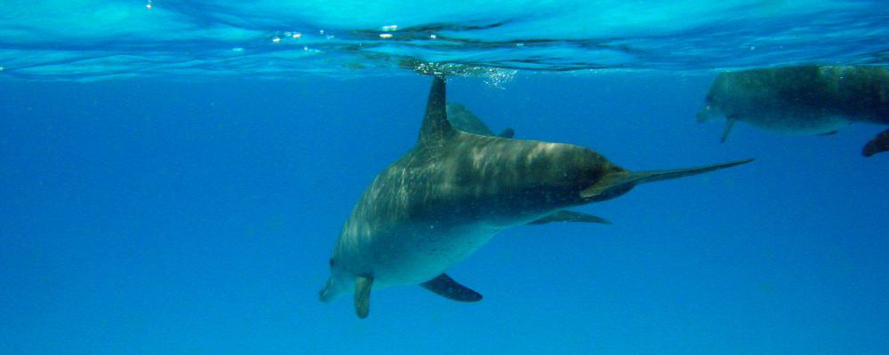 underwater-spotted-dolphin