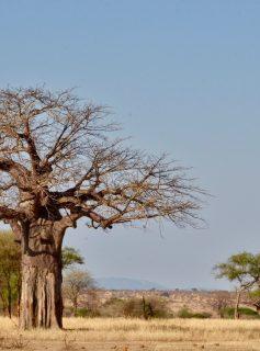 Baobabs Tarangire