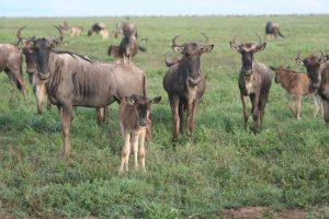 Wildebeest by Van Grotenhuis