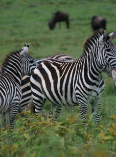 Zebras. by Van Grotenhuis