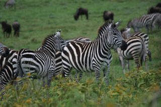 Group of Zebras on a green prairie by Van Grotenhuis