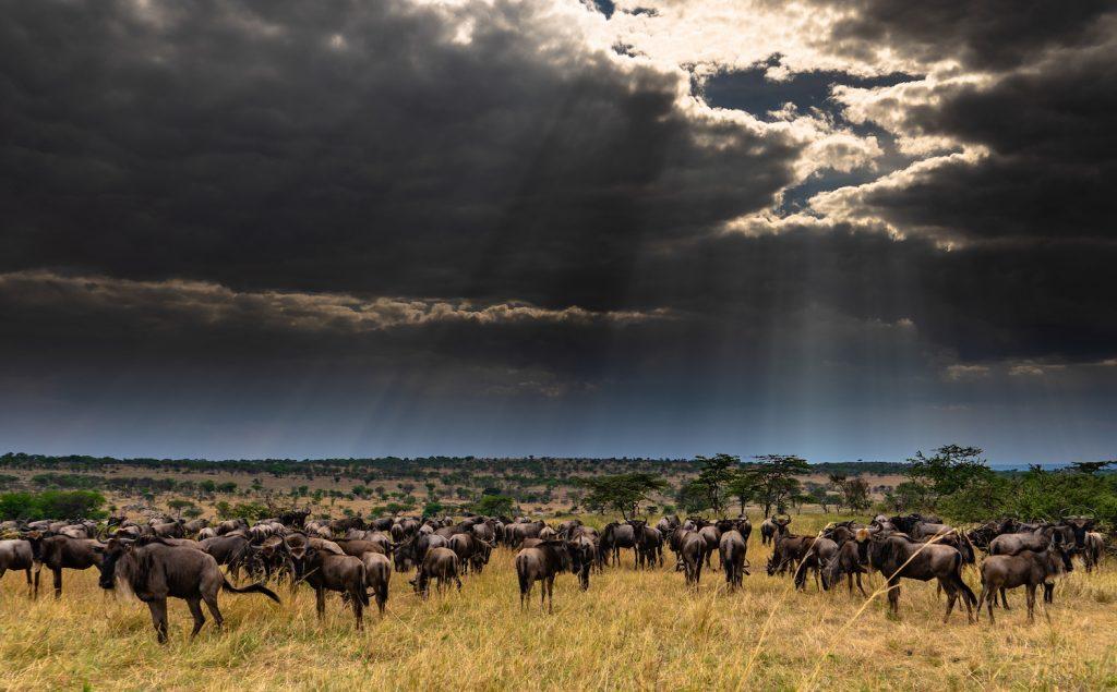 Wildebeest and dark sky