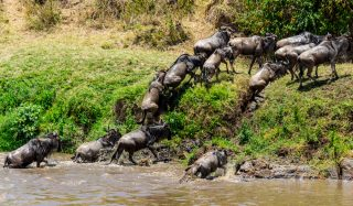 Mara Crossing river Serengeti